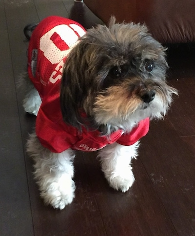 A grey with white Havanese is wearing an Ohio State Buckeyes jersey looking up and to the right