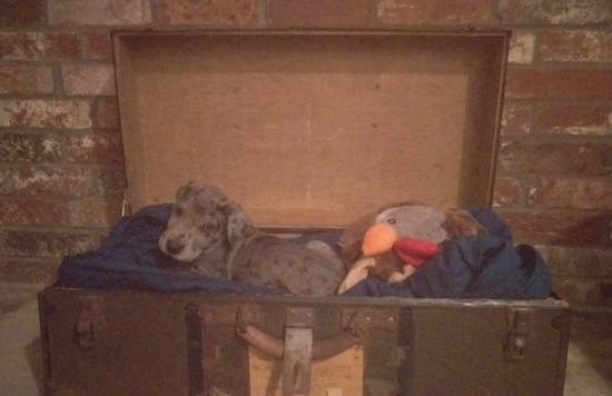 A blue merle Irish Dane puppy is laying in a wooden chest with a plush pillow behind it