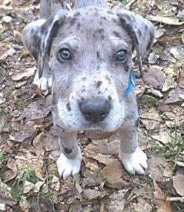 A blue merle Irish Dane Puppy is standing in a pile of brown fallen leaves