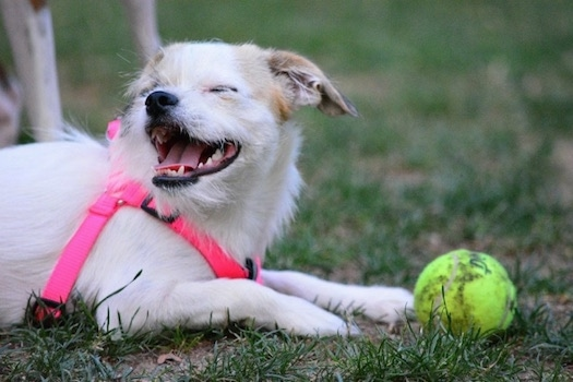 A white with tan Jack Chi is wearing a hot pink harness laying in grass with a tennis ball in front of it