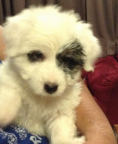 A small fluffy white with black Jatese puppy is laying against a persons body. It is all white with a big patch of black around one eye and a small patch of black around the other eye.