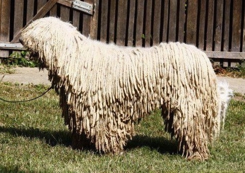Left Profile - A white Corded Komondor is standing in grass in front of a wooden fence