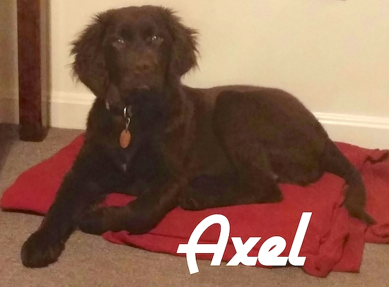 A black Labradinger puppy with fluffy ears is laying on a red blanket. The name - Axel - is overlayed on the image.