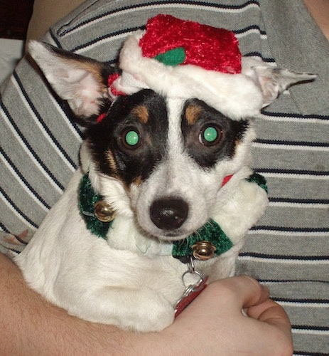A white with black and tan Labrahuahua, wearing a Santa hat, is in the arms of a person in a gray with black and white striped shirt.