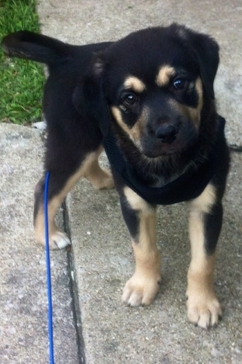 A small  black with tan Labrahuahua puppy is standing on a sidewalk in front of grass looking up