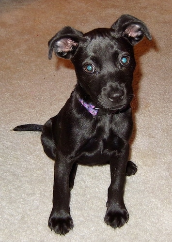 small shiny-coated black Labrahuahua puppy is wearing a purple ...