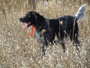 A panting black with white ticked Large Munsterlander is wearing a bright orange collar standing in a feild of tall brown grass.