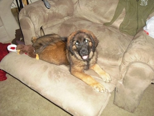 A Leonberger is laying on a recliner tan chair. There is a plush doll and a santa hat behind it.