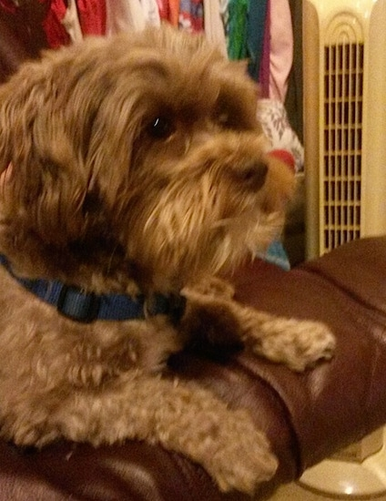 Side view - tan with white Lhasa-Poo is laying on the arm of a brown leather couch and looking to the right.