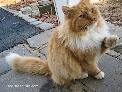 An orange longhaired cat is sitting on a stone porch with its paw in the air and looking up
