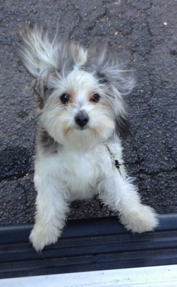 A white with gray and tan Maltese mix is jumped up on the running board on the side of a vehicle. Its fur is flying back with the motion.
