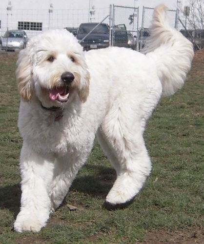 A furry white with tan Mastidoodle dog is changing direction outside in grass. Its mouth is open and tongue is out. There is a white building, cars and a chain link fence behind it.
