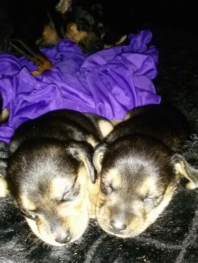 A litter of Meagle puppies are sleeping on a fluffy black rug and a purple blanket which is behind them.