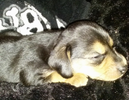 Side view - A sleeping black and tan Meagle puppy is laying on a black fluffy rug.