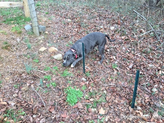 A blue nose American Bully Pit is trying to get under a wire fence.
