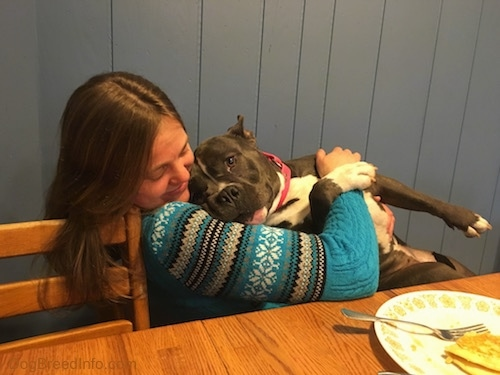 A lady in a blue sweater is holding a blue nose American Bully Pit in her lap while she is sitting in a chair.