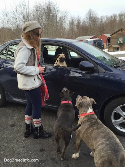 A girl wearing a pink scarf is standing next to a blue Toyota Corolla vehicle. In the car is a tan with black Pug dog who is looking out the open window. There is a blue nose American Bully Pit and a blue nose Pit Bull Terrier looking up at the Pug.