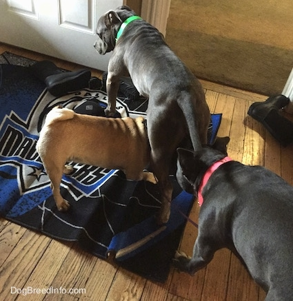 A tan with black Pug is walking under the legs of an American Pit Bull Terrier. A blue nose American Bully pit is leaning down to sniff the Pug. They are standing on a Dallas Mavericks rug.