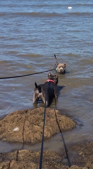 The backside of a blue nose American Bully Pit that is standing in water. There is an American Pit Bull Terrier standing in front of the Bully Pit in water with only her head showing.