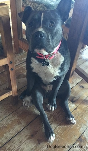 A wet blue nose American Bully Pit is sitting on a hardwood floor and she is looking up. Her right ear is in the air and her left ear is flopped over. She is wearing a hot pink collar.