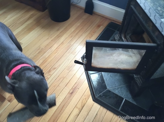 Top down view of a blue nose American Bully Pit is walking across a hardwood floor with a log in her mouth past the wood buring stove fireplace.
