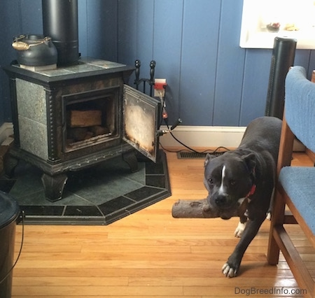 A blue nose American Bully Pit is walking down a hardwood floor with a fireplace log in her mouth.