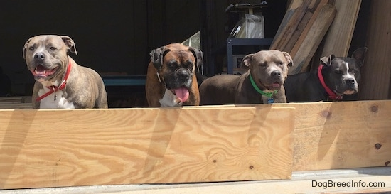 A blue nose Pit Bull Terrier, a brown brindle with black and white Boxer, an American Pit Bull Terrier and a blue nose American Bully Pit are standing behind a wooden board. Three of the dogs mouths are open. The Boxer has his tongue out.