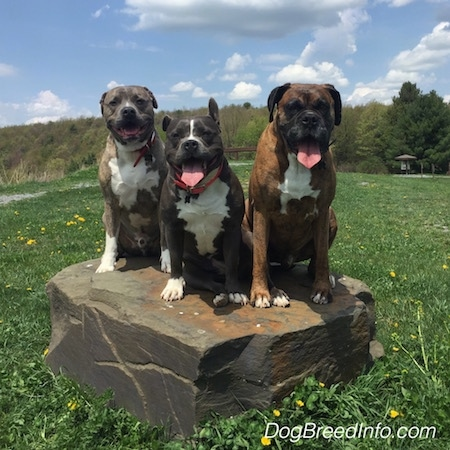 A blue nose Pit Bull Terrier, a brown brindle with black and white Boxer and a blue nose American Bully Pit are sitting on a rock in the middle of a field. There mouths are open and tongues are out.