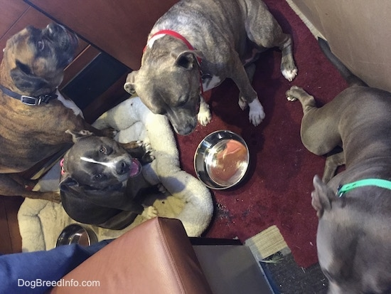 Four dogs are sitting and standing around an empty bowl of water.