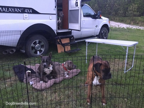 Four dogs inside of a penned area around an RV camper - An American Pit Bull Terrier is sitting inside of a camper. In front of the camper are two dogs sitting and laying on a dog bed and standing directly in front of a pen is a brown brindle with black and white Boxer.