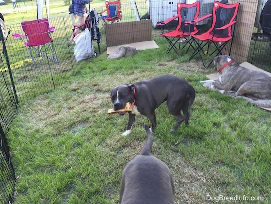 A blue nose American Bully Pit is standing in grass and she is chewing on a bone. A blue nose Pit Bull Terrier is laying on a dog bed and looking to the right.
