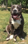 A blue nose American Bully Pit is sitting in grass and she is looking forward. Her ears are back, her mouth is open and it looks like she is smiling.
