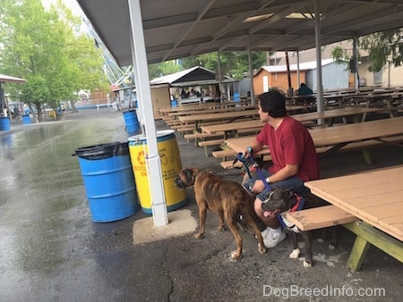 A man in a red shirt is sitting on a bench under a pavilion out of the rain and he is holding the leash of a brown brindle with black and white Boxer and an American Bully dog.