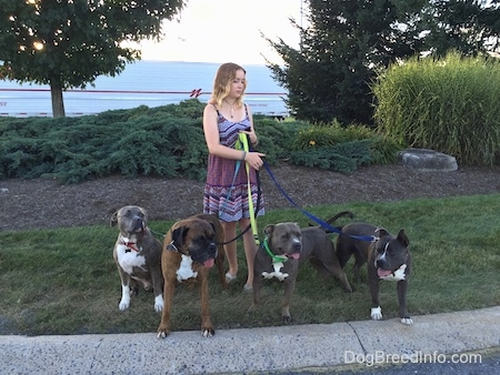 A blonde haired girl in a sun dress is standing in grass and she is holding the leash of four large dogs.