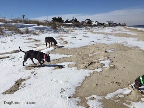 A blue nose American Bully Pit and a blue nose Pit Bull Terrier are sniffing around the snow and sand mix.