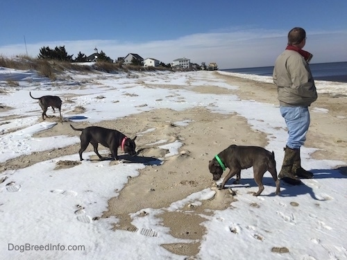 A blue nose American Bully Pit, an American Pit Bull Terrier and a blue nose Pit Bull Terrier are sniffing around a snow and sand mix. There is a person looking at the body of water to the right.