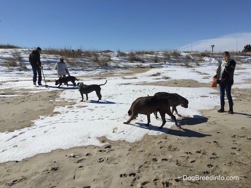 A blue nose American Bully Pit, an American Pit Bull Terrier, a brown with black and white Boxer and a blue nose Pit Bull Terrier are running across snow and sand. There are three people walking around with the dogs.