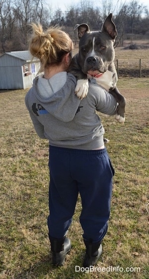 The back of a blonde haired girl holding a blue nose American Bully Pit in her arms outside in the grass. The dog has a big head.