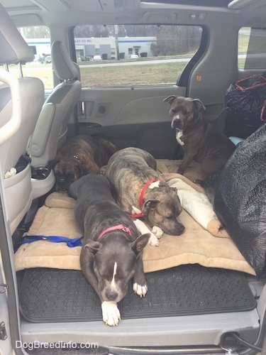 A blue nose American Bully Pit, an American Pit Bull Terrier, a brown with black and white Boxer and a blue nose Pit Bull Terrier are sleeping in the back of a van.