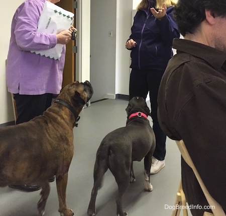 Three people are talking in an office. A blue nose American Bully Pit and a brown with black brindle and white Boxer are walking up to some of the people.