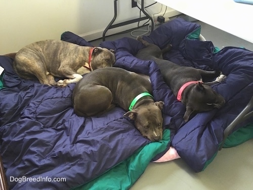 A blue nose American Bully Pit, an American Pit Bull Terrier and a blue nose Pit Bull Terrier are sleeping on blankets under a table.