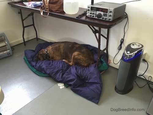 A brown with black brindle and white Boxer is sleeping on a blanket under a table.