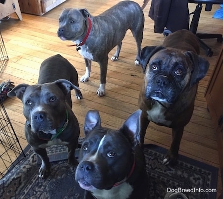 Four dogs are standing and sitting on a rug and looking up inside of a living room.