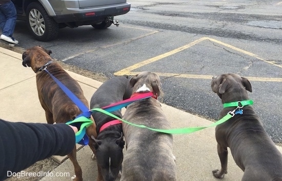 A blue nose American Bully Pit, an American Pit Bull Terrier, a brown with black and white Boxer and a blue nose Pit Bull Terrier are standing on a sidewalk with color coordinated leashes.