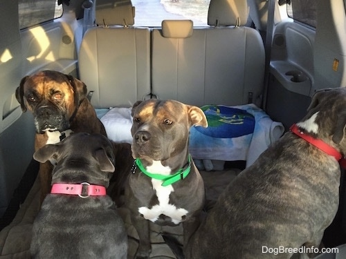Four Dogs are sitting in a van. One is looking at the backseat, two dogs are looking forward and one is looking to the right.