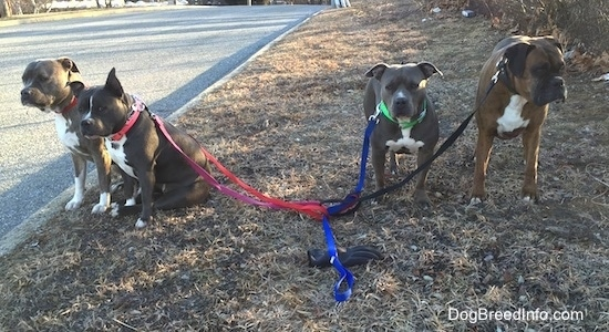 A blue nose American Bully Pit and a blue nose Pit Bull Terrier are sitting in grass on the left. There is an American Pit Bull Terrier and a brown with black brindle and white Boxer standing in grass on the right side. All of the dogs are connected to leashes that no one is holding.