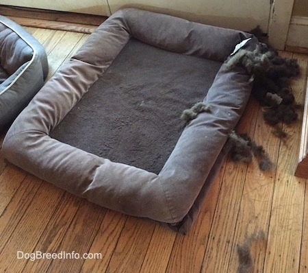 The stuffing from a dog bed is all over the bed and hardwood floor