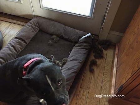 A blue nose American Bully Pit is sitting on a dog bed and she is looking up. There is brown stuffing near a dog bed.