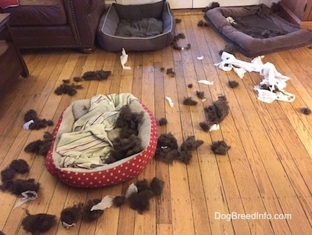 A mess of toy stuffing and chewed up paper surrounding three dog beds in a living room.