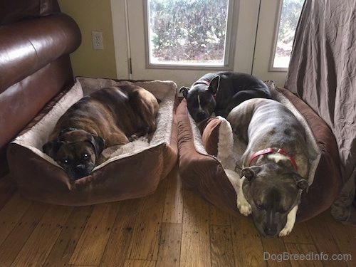 Three Dogs are laying on 2 dog beds.